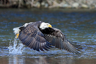 Skagit Eagle Watching Tours